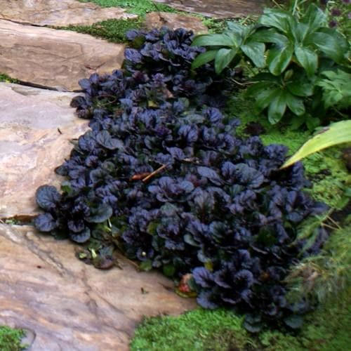 Ajuga reptans Black Scallop - Future Forests