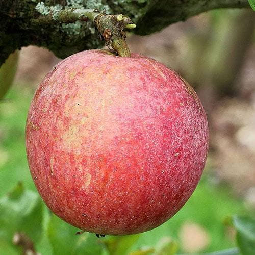 Apple Allington Pippin