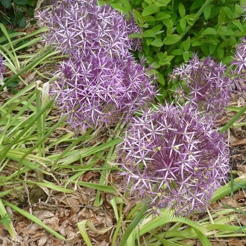 Allium Christophii - Future Forests