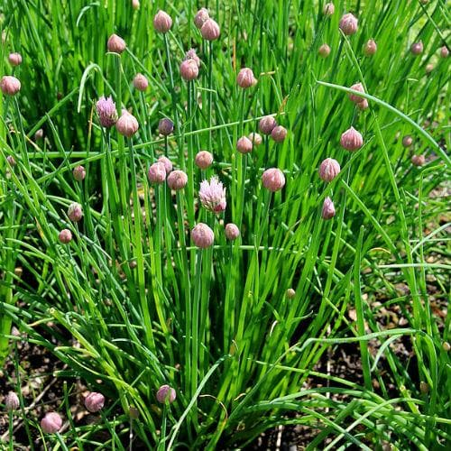 Chives - Future Forests