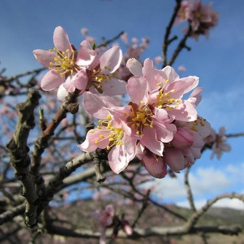 Almond Robijn - Prunus dulcis Robijn - Future Forests