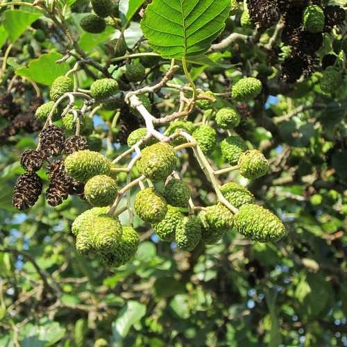 Alnus glutinosa - Common Alder - Future Forests