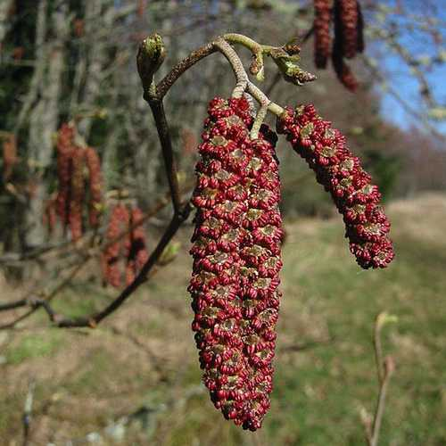 Alnus rubra - Red Alder - Future Forests