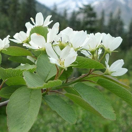 Amelanchier alnifolia Smokey - Future Forests