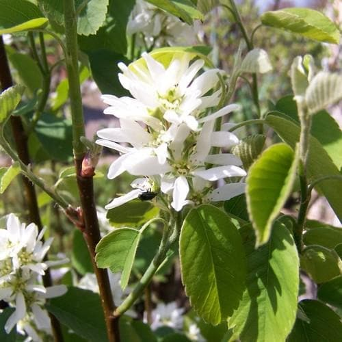 Amelanchier alnifolia Obelisk - Future Forests