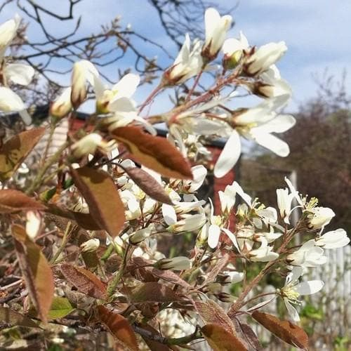Amelanchier spicata - Future Forests