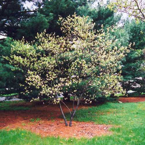 Amelanchier x grandiflora Ballerina - Future Forests