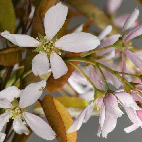 Amelanchier Robin Hill - June Berry Tree – Mail Order Trees   500x500