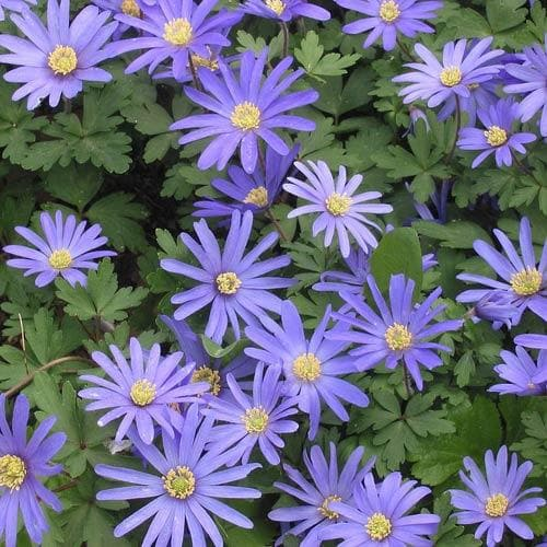 Anemone blanda Blue Shades - Future Forests