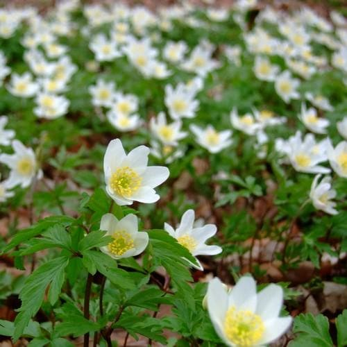 Anemone nemorosa - Future Forests