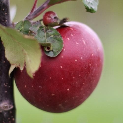 Apple Tickled Pink (Baya® Marisa) - Future Forests