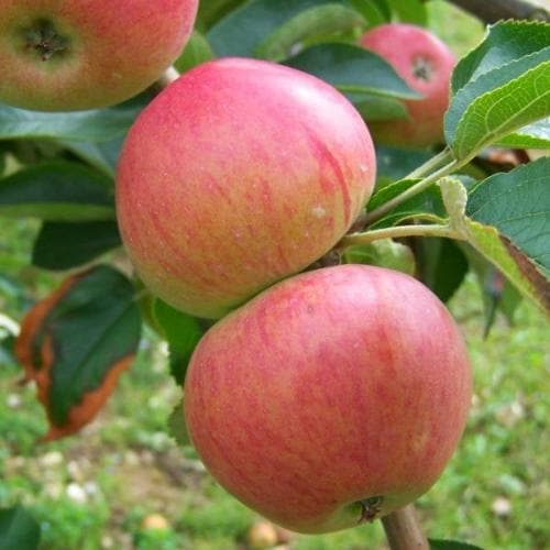 Apple Somerset Redstreak - Future Forests