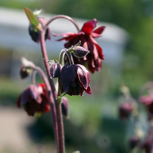 Aquilegia viridiflora Ruby Port - Future Forests