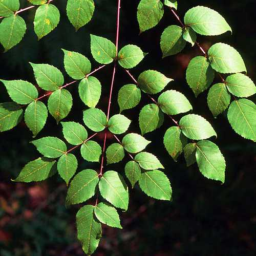 Aralia spinosa -Devils Walking Stick - Future Forests