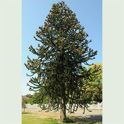 Araucaria araucana - Future Forests