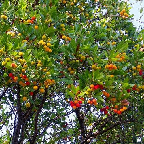 Arbutus unedo - Strawberry Tree - Future Forests