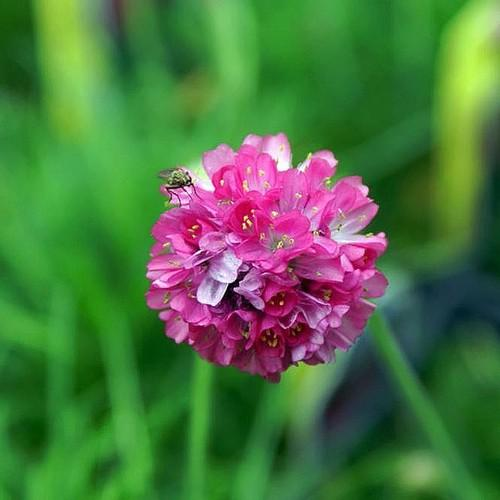 Armeria maritima Splendens - Future Forests