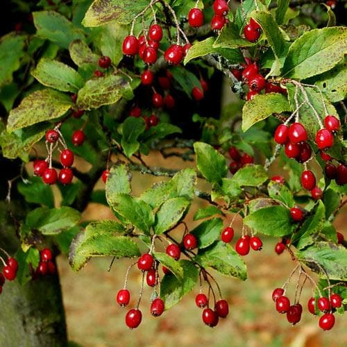 Aronia x prunifolia Brilliant