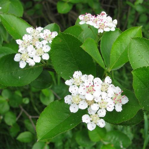 Aronia mitschurini Amit - Future Forests