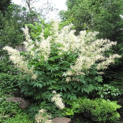Aruncus dioicus - Future Forests