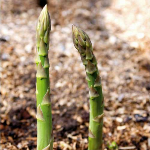 Asparagus Connover's Colossal - Future Forests