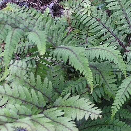 Athyrium otophorum Okanum - Future Forests