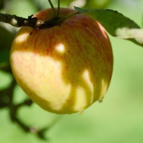 Apple Bardsey - Future Forests