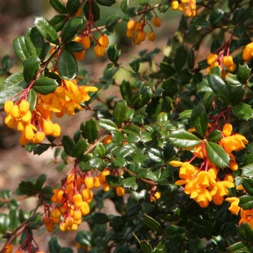 Berberis darwinii - Future Forests