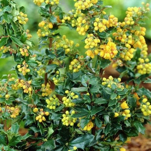 Berberis lologensis Mystery Fire - Future Forests