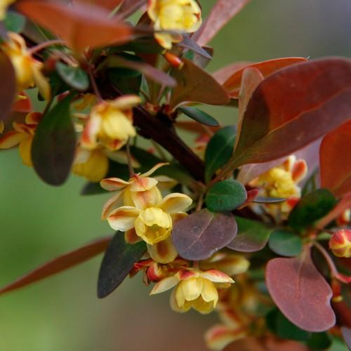 Berberis thunbergii Rose Glow - Future Forests