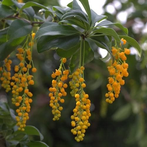 Berberis valdiviana - Future Forests