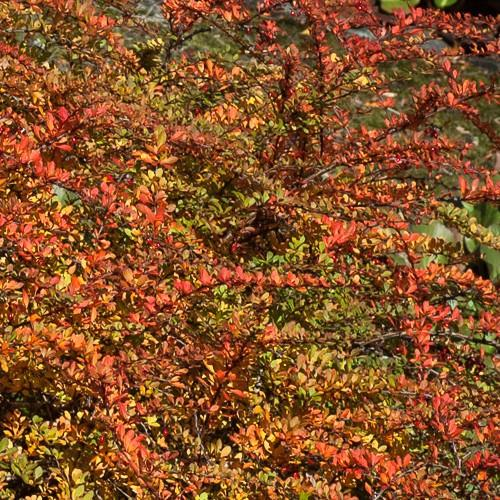Berberis vulgaris - Future Forests