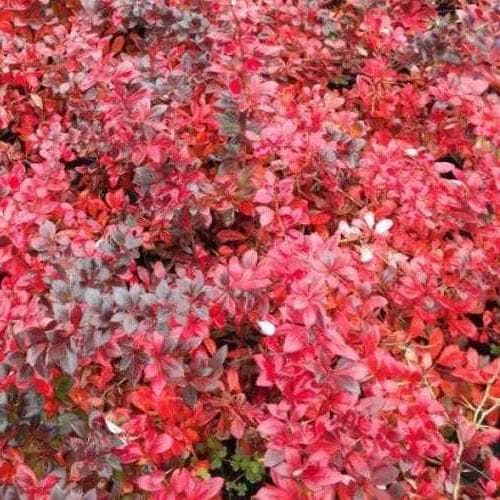Berberis x media Red Jewel - Future Forests