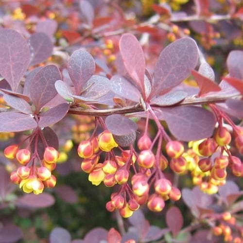 Berberis x ottawensis Superba - Future Forests