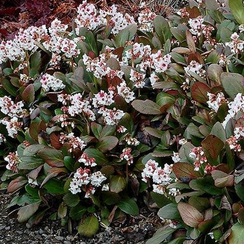 Bergenia Angel Kiss (Dragonfly™ series)