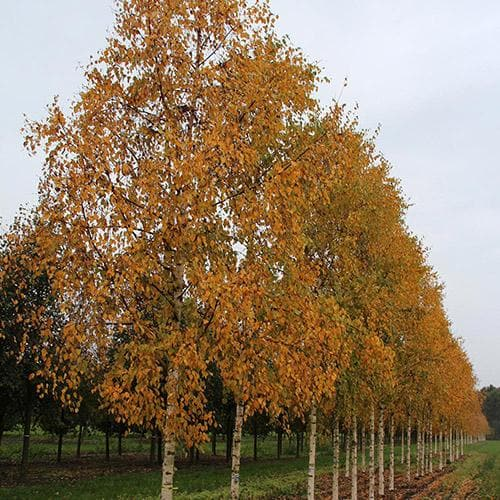 Betula ermanii Holland
