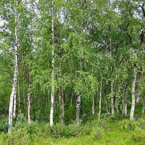 Betula pendula - Silver Birch - Future Forests