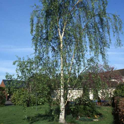 Betula pendula Tristis - Future Forests