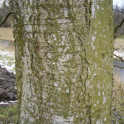 Betula pubescens - Downy Birch - Future Forests