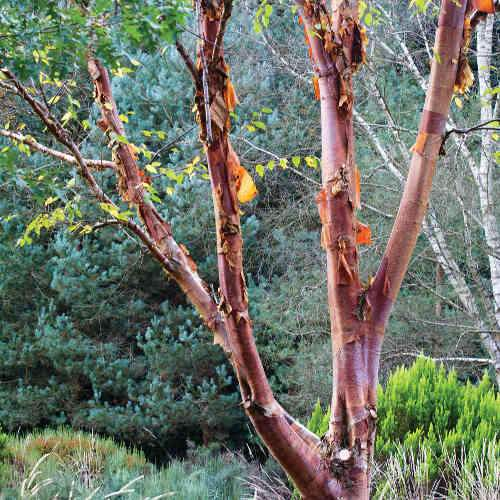 Betula albosinensis Red Panda