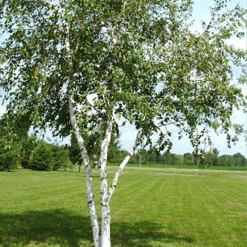 Betula papyrifera - Paper Birch - Future Forests