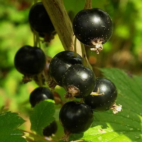 Blackcurrant Malling Jet - Future Forests