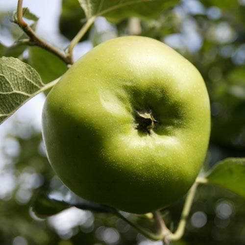 Apple Bramley's Seedling - Future Forests