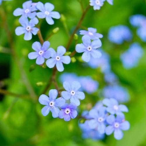 Brunnera macrophylla - Future Forests