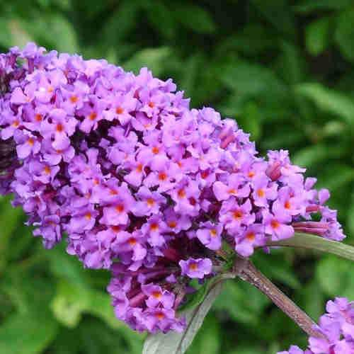 Buddleja davidii Border Beauty