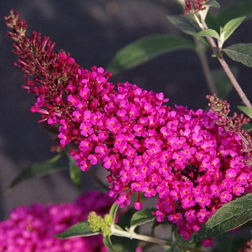 Buddleja davidii Buzz Hot Raspberry