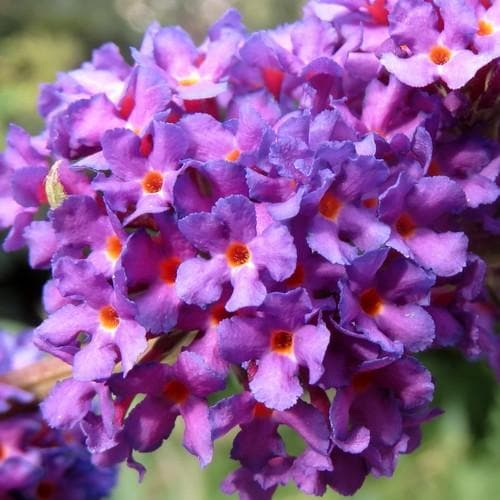 Buddleja davidii Black Knight - Future Forests