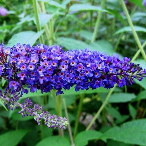 Buddleja davidii Empire Blue - Future Forests