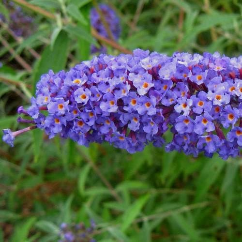 Buddleia davidii Nanho Blue - Future Forests