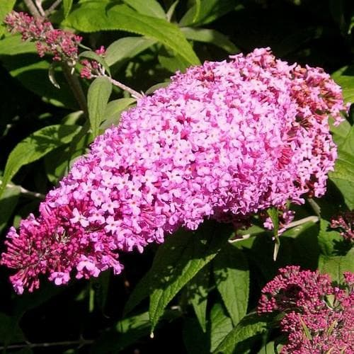 Buddleja davidii Pink Delight - Future Forests